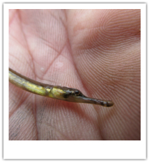 Pipefish in hand.